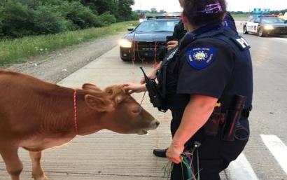 Cow on Major Deegan