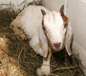 Goat Evan