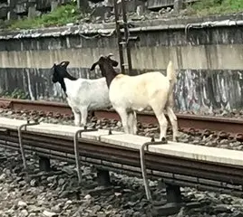 Two goats on subway track